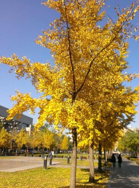 银杏是成都市树,而在银杏叶子假金黄图片