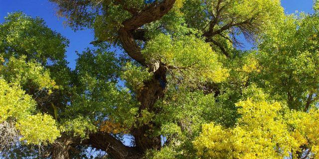神树作为额济纳胡杨林最为典型的景观,已经成为胡杨林的标志和形象.