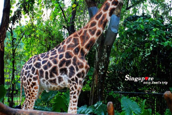 大名鼎鼎的新加坡动物园,我们来啦!有v酒店情趣用品什么酒店套装图片