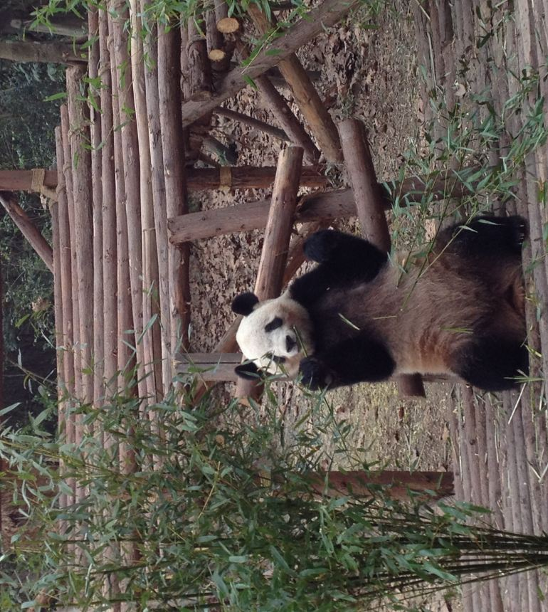 先吐槽坑爹的3号线熊猫大道站,今天是开通第二天,之前新闻宣传都说直达熊猫基地,实际是出站后是有个熊猫大道,只是个路名,离熊猫基地还有3公里多,还有好多和我一样的人站在出站口徘徊。倒是有不少电动三轮和面包车,面包车5块一个人,但通通被尽职的交警赶走了,公交车站还要好几百米,各种打车软件也是没车接单。最后是和别人拼车打出租车去的,一口价20不打表,说是打表16,高德显示是13。以后还是乖乖坐景区直通车好啦。本来起早赶来看熊猫,在地铁站就浪费至少一刻钟。 进入熊猫基地8点40,进门就是导览车站,好多人排队,果断