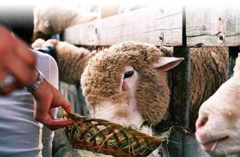 攻略岭牧场大关,江原道羊群岭牧场攻略大关/地科莫湖一日游羊群图片