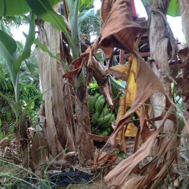 池边香蕉树