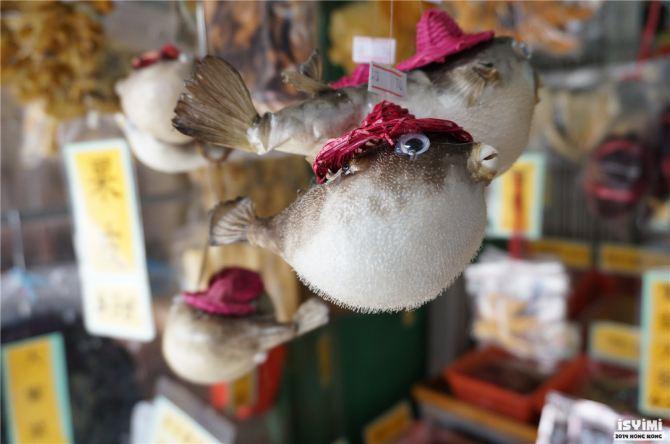 好可爱的鸡泡鱼,这边叫河豚