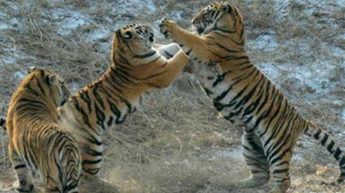 幼虎苑圈养着40多只3岁以下的幼虎,活泼可爱,游人可徒步在廊道里观赏