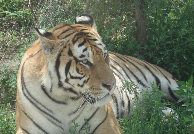 关于思考老虎的图片