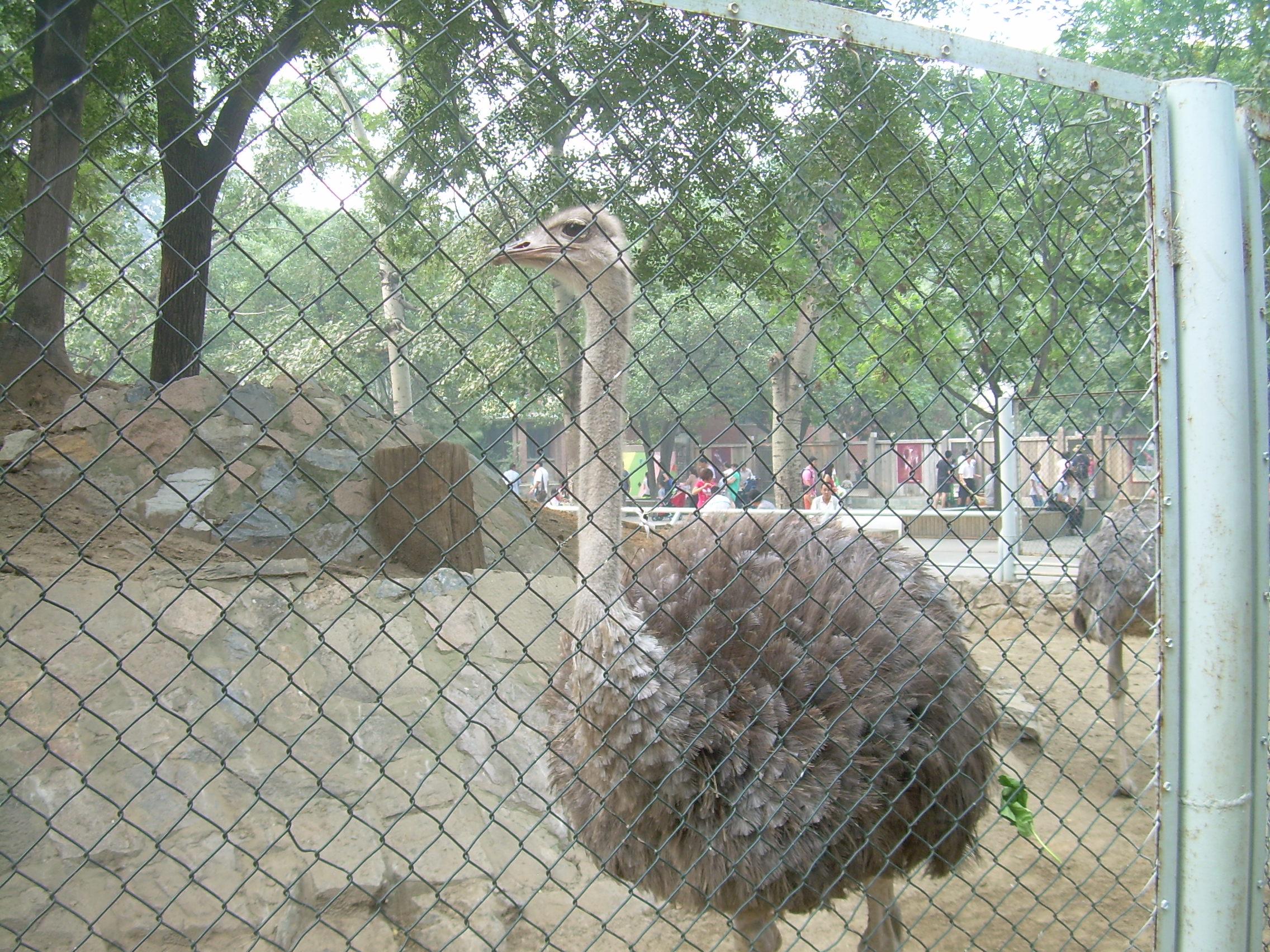 动物园的斑马和鸵鸟都是养殖到一起的,看着它们还是能和平共处的。 斑马是是一类常见于非洲的马科动物。斑马因身上有起保护作用的斑纹而得名,每只斑马身上的条纹都不一样。 鸵鸟大家都很熟悉,它是不能飞的。 其实鸵鸟的祖先也是一种会飞的鸟类,那么它是怎么变成今天的模样的呢?这与它的生活环境有着非常密切的关系。鸵鸟是一种原始的残存鸟类,它代表着在开阔草原和荒漠环境中动物逐渐向高大和善跑方向发展的一种进化方向。与此同时,飞行能力逐渐减弱直至丧失。非洲鸵鸟的奔跑能力是十分惊人的。它的足趾因适于奔跑而趋向减少,是世界上唯一