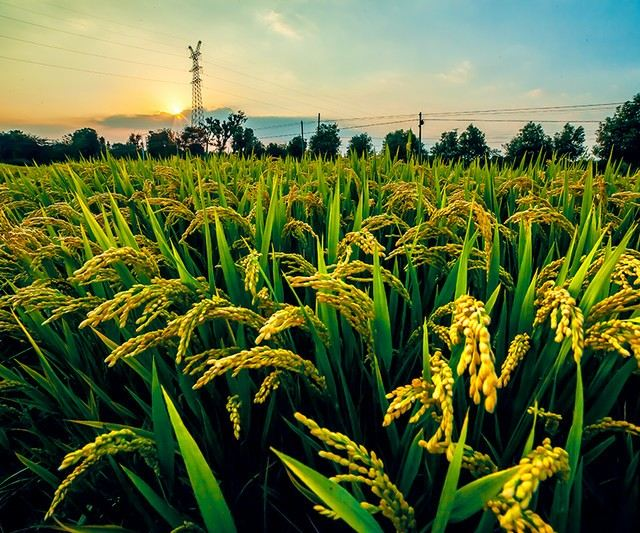 成长的水稻图片