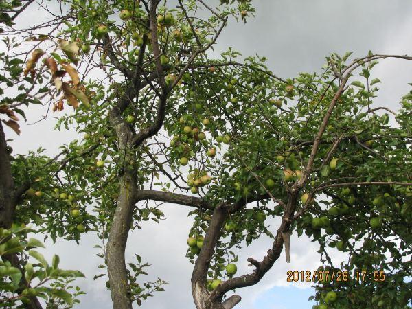 金银果树简笔画