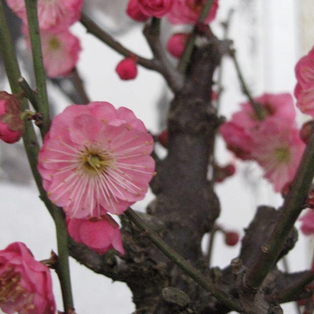 在二月和三月,梅树的叶子还没来得及长出来,但是已经抽出几朵五瓣花