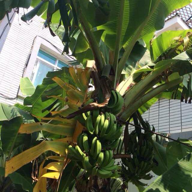 酒店里的芭蕉树,好多青青的香蕉