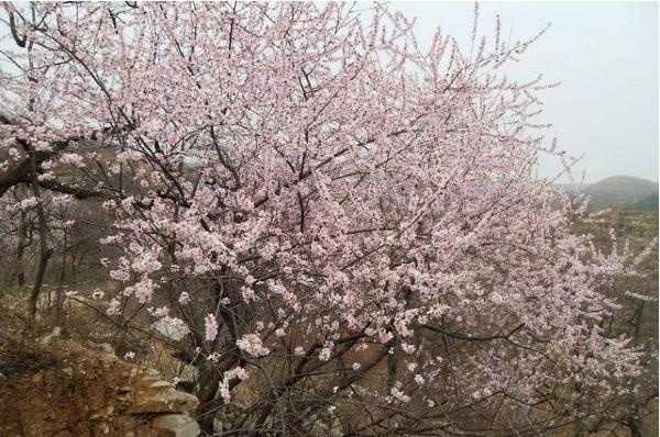 原来,那两棵树枝是在老寿星在仙鹤背上打盹时,滑落下来,掉在了太行山