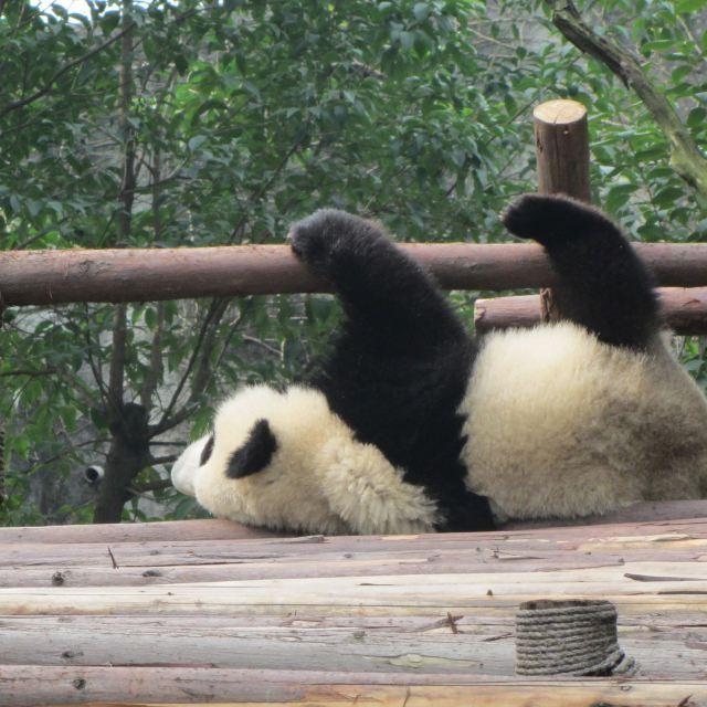 大熊猫幼崽,太可爱了,引来无数目光.