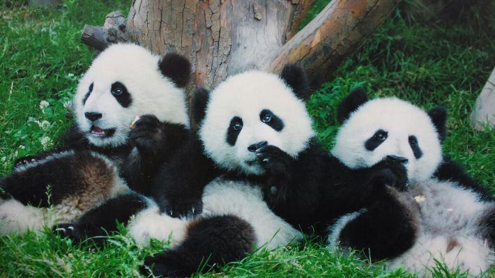 成都熊猫繁殖基地