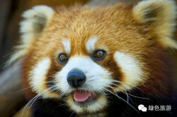 小熊猫性格十分温顺,张开嘴巴时展现的是一幅笑脸,非常可爱.