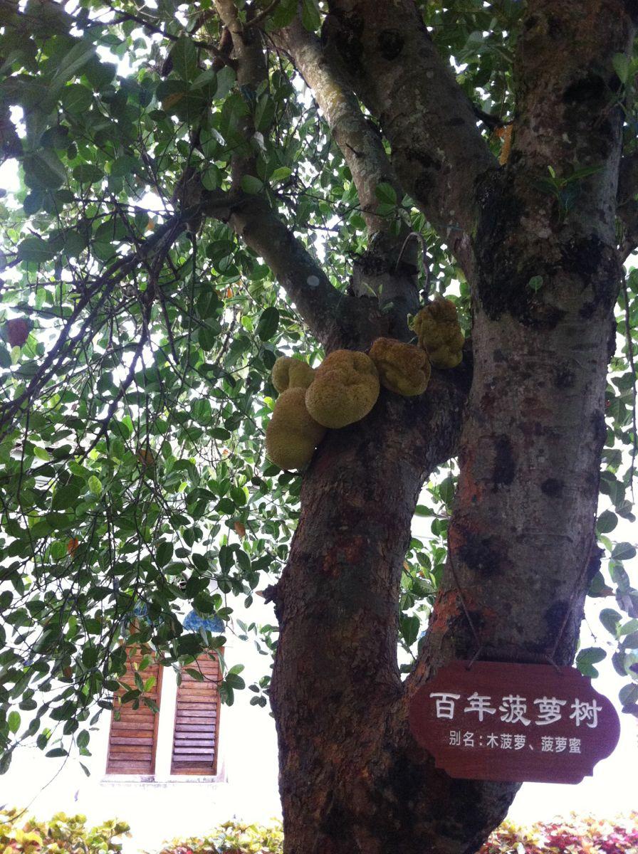 菠萝蜜.水果树很多都是百年以上的
