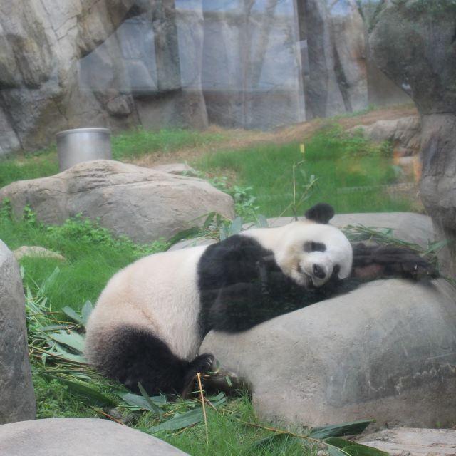 熊猫一家三口手绘