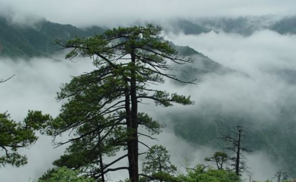 自然风景松树壁纸