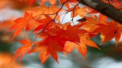 树叶拼贴画 凤凰