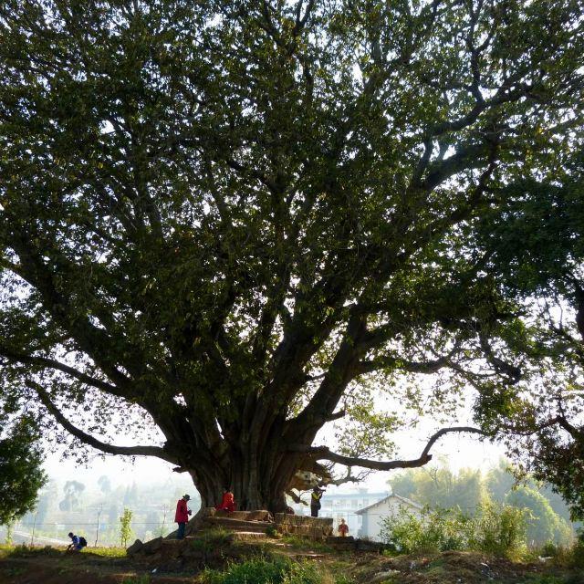 旅行摄影大展#云游四海(220)红泥寨大榕树