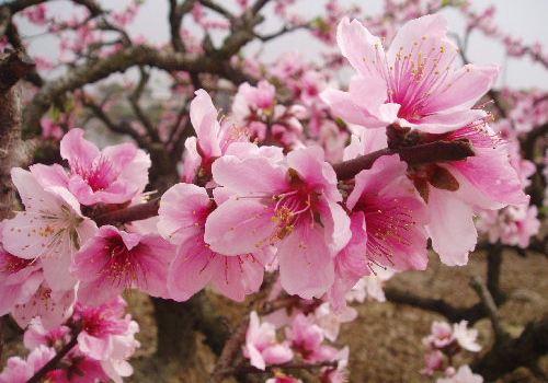 手绘桃花意境背景图片