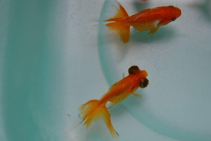 美丽可爱的小金鱼