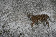 狮虎乐园-济南-陶乐诗