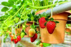 草莓农场-金马仑高原-doris圈圈
