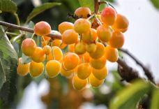 汪洋台大樱桃采摘园-济南-AIian