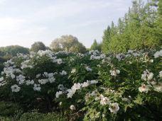 国家牡丹园-洛阳-m28****0616