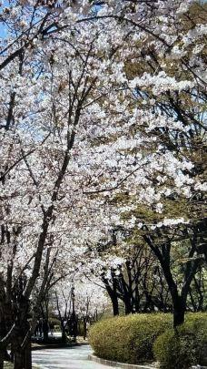 樱花大道-济州岛-小Y同学