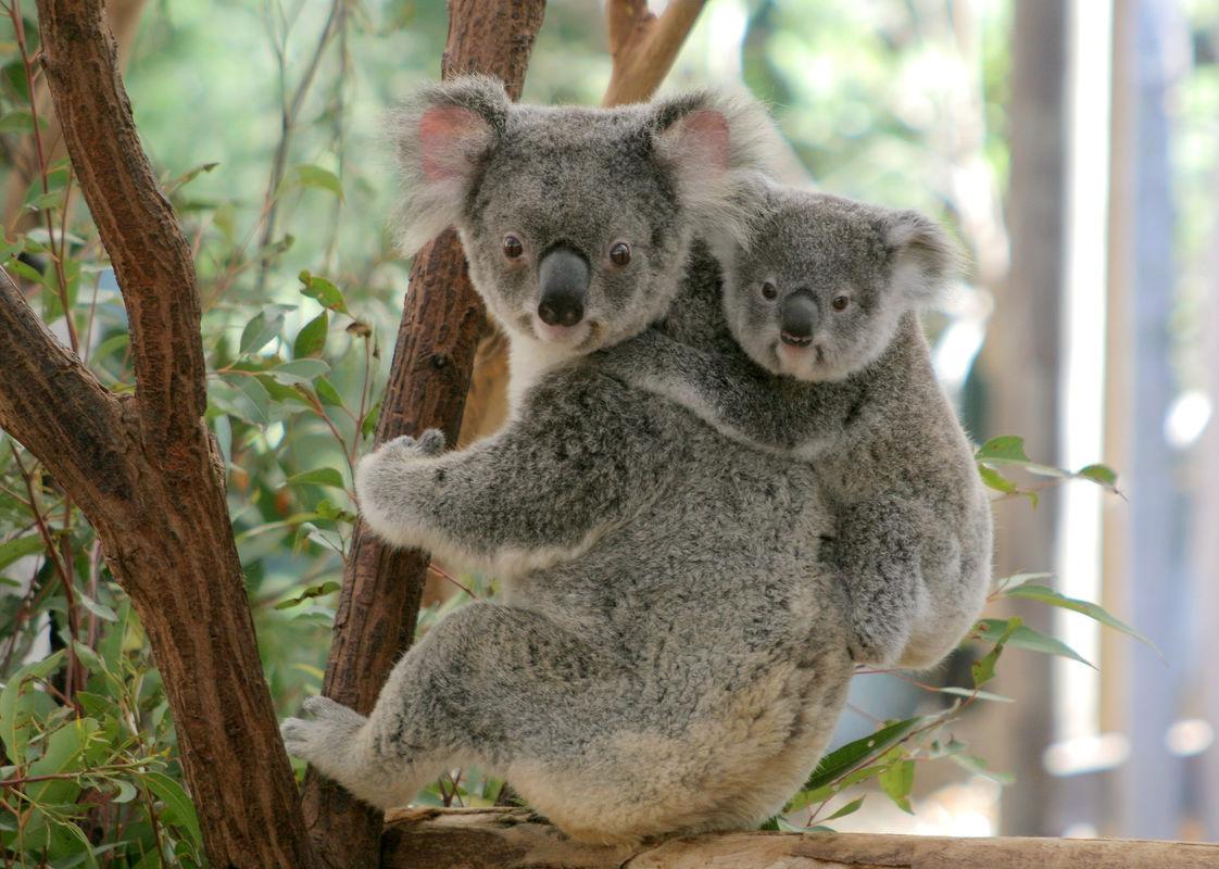 Lone Pine Koala Sanctuary Ticket