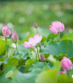 洪湖游记图文-咸宁旅游及周边七大赏荷地,你想去哪个呢?