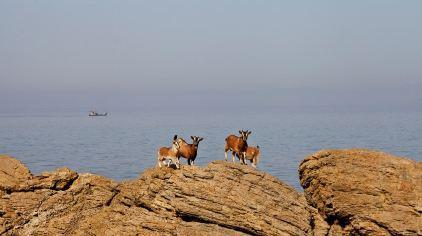 大鹿岛的野山羊.jpg