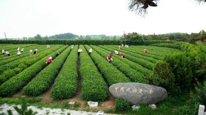 日照御海湾茶博园风景区3.jpg