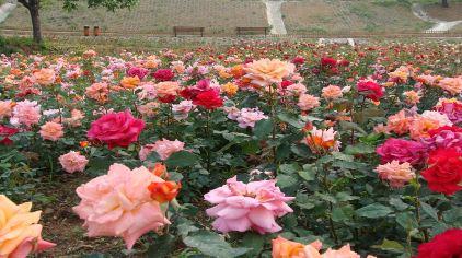 玫瑰情园6.jpg