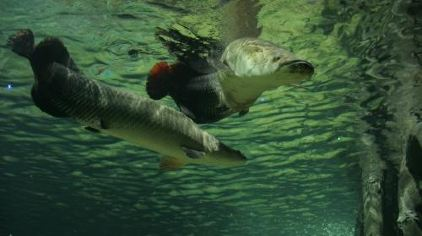 无锡海底世界-龙鱼