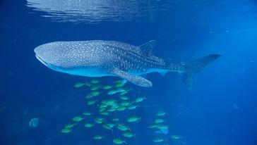 鲸鲨.jpg