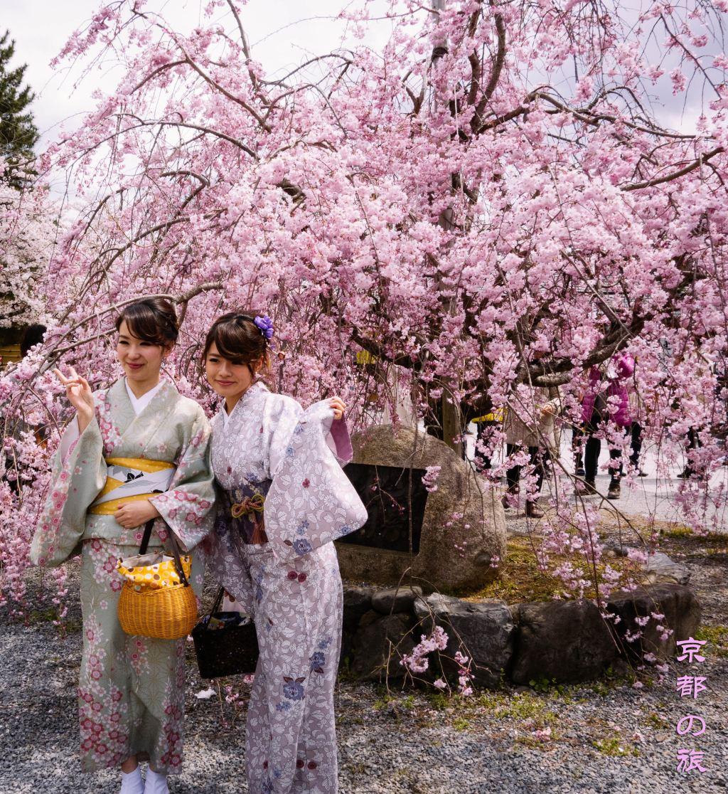 去日本找春天,追著樱花由东往西